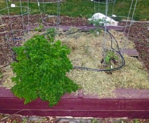parsley and toms